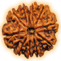 Eleven Mukhi – Eleven Phased Rudraksha