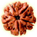 Five Mukhi – Five Phased Rudraksha