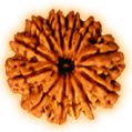 Twelve Mukhi – Twelve Phased Rudraksha