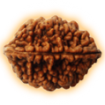 Two Mukhi – Double Phased Rudraksha