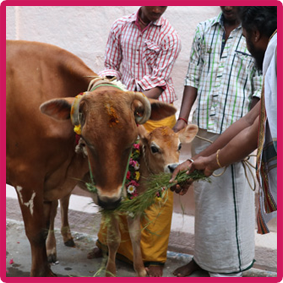Offering-to-cow